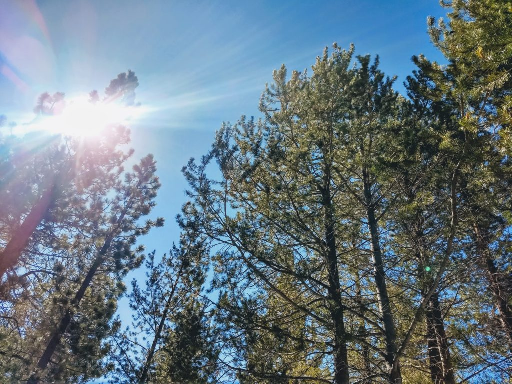 Bright sun over Truckee forest