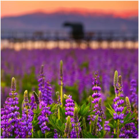 Purple lupine wildflowers in a meadow.