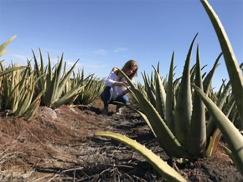 Frau auf Agavefeld, die eine Pflanze prüft
