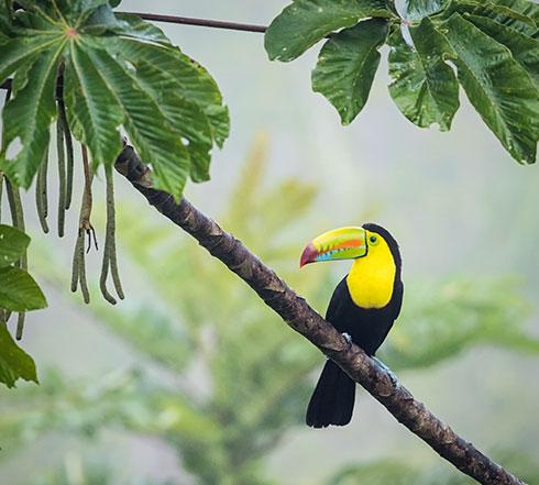 Fischertukan im Baum, Costa Rica