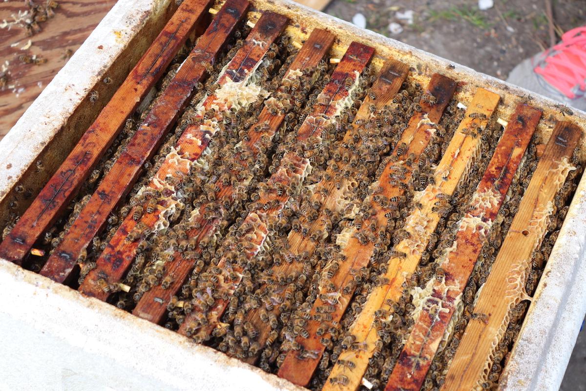 Honningbierne er flyttet ind �