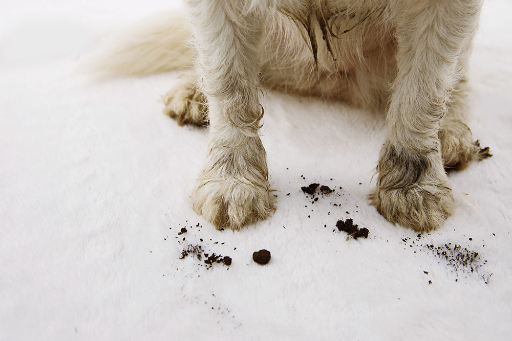Some dog's paws leaving soil on a carpet.