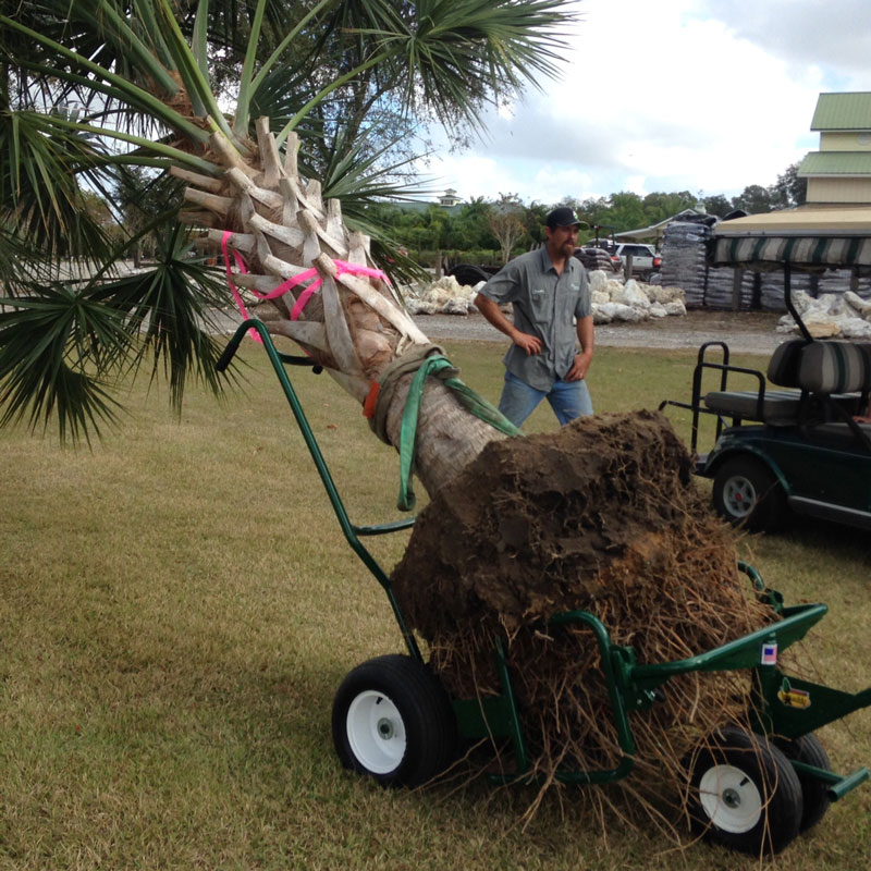 Large palm tree strapped to The Landscaper's Buddy tree mover and its palm handle attachment