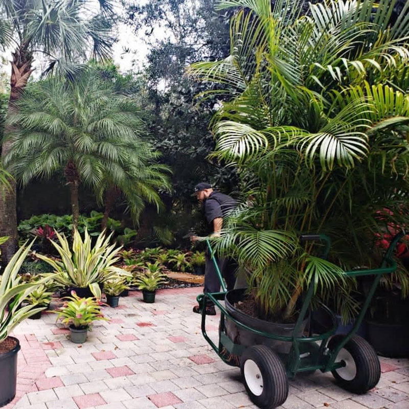 Man pulling large potted palm tree on The Landscaper's Buddy utility cart through botanical garden