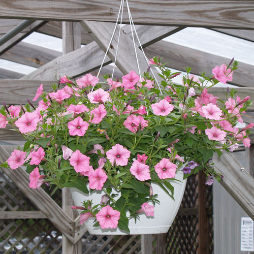 "Supertunia 12"" Hanger"