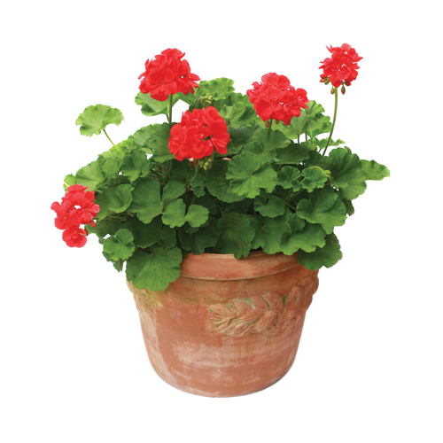 Red geranium in a terra cotta planter