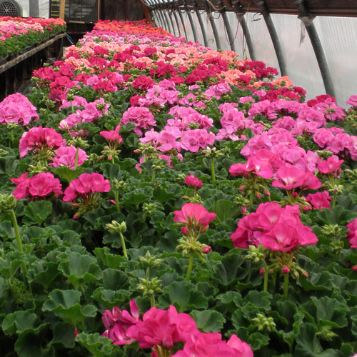 Zonal Geraniums in shades of pink