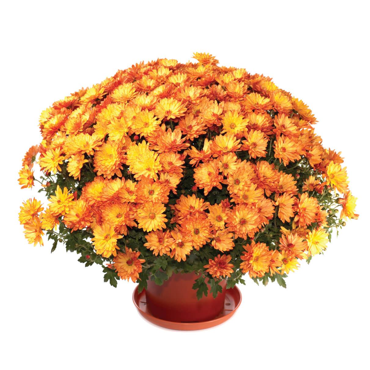 potted orange mum