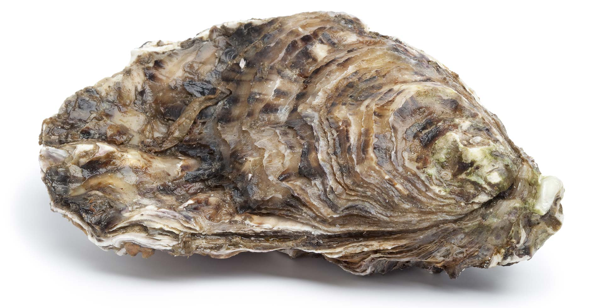Oysters available in stock and pre-order from J.J. McDonnell & Co.