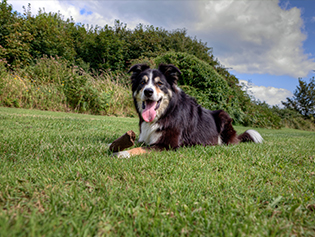 Helpful Veterinary Links in Williamston: Dog in a field