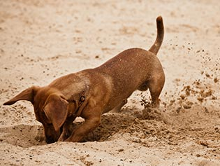 Pet How-To Videos in Williamston, MI: Dog digging in sand