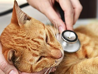 Cat receiving care after following Veterinary Policies in Williamston