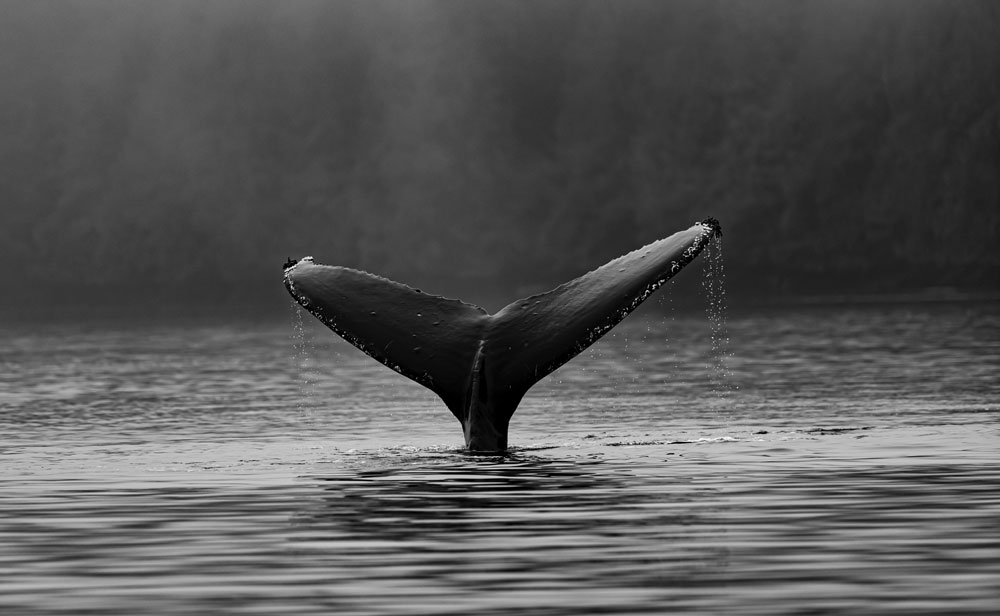 Whale fin in water