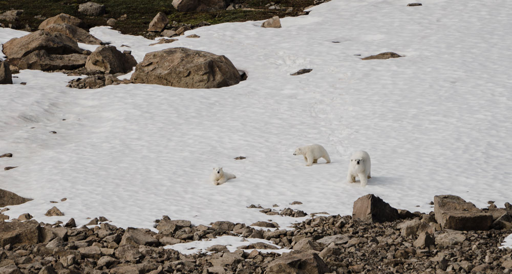 Polar bears in nature where the ice is already melting