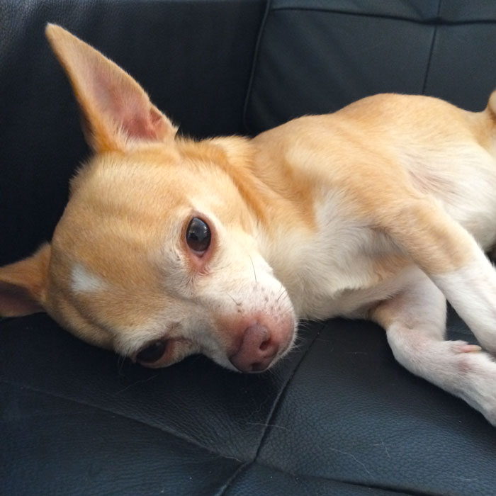 Lazy Chihuahua