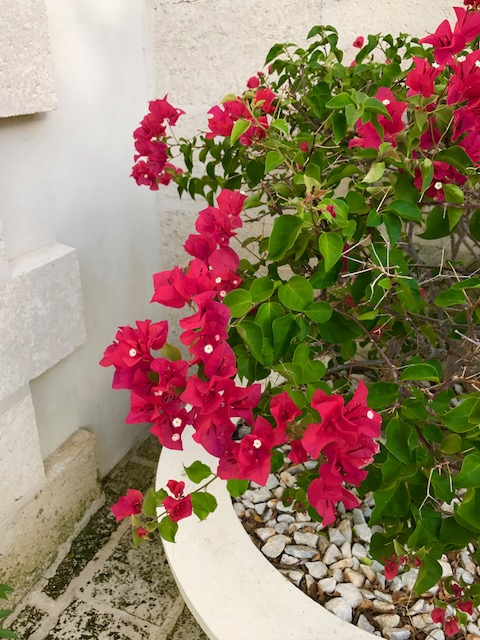 The colors of The Caribbean, Bouganvilla in full bloom.