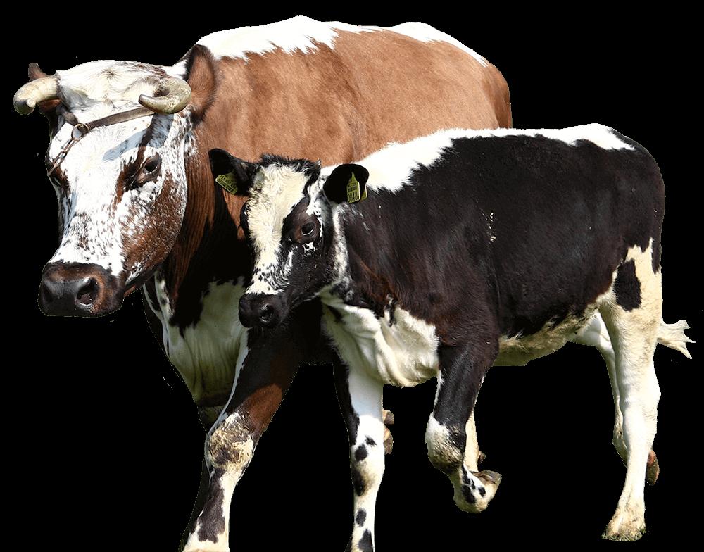 Adopteer een koe