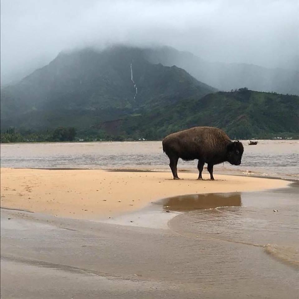 Buffalo roaming after the flood in Kauai.