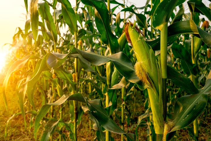A green corn field