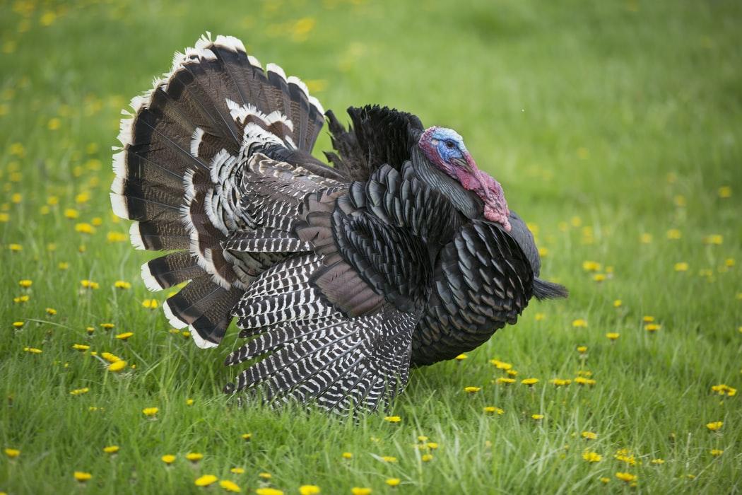 Downloadable ESL Lesson: Thanksgiving Turkey Trouble