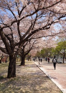 Whitney Currier got to enjoy beautiful cherry blossoms on her commute while she was teaching English in Daegu, South Korea
