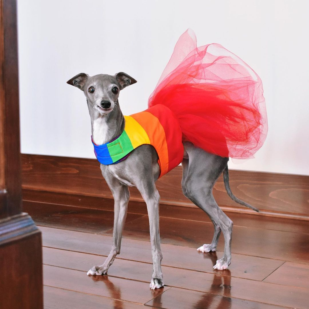 Tika the Iggy wearing a pride flag outfit with red tutu