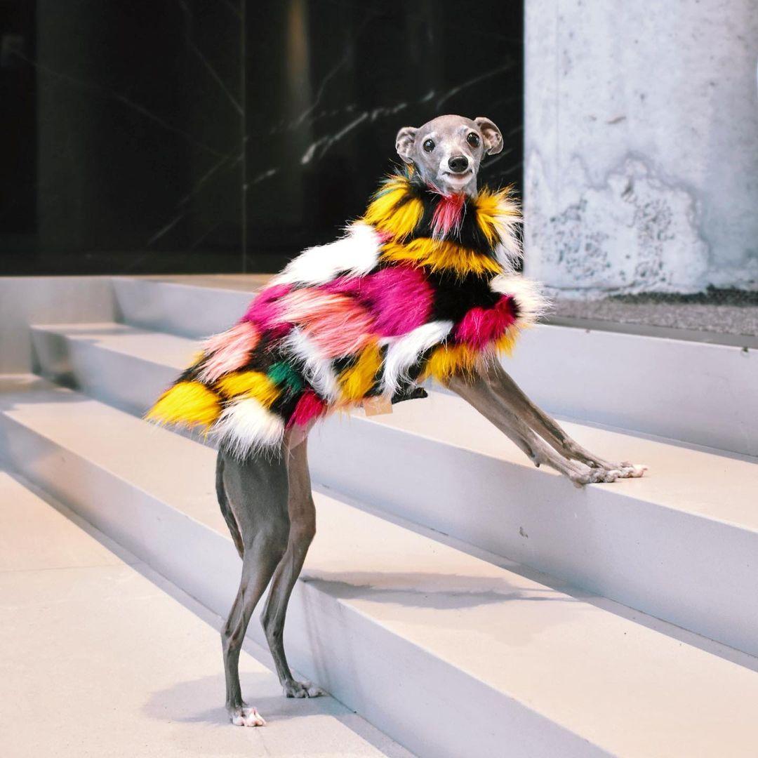 Tika the Iggy wearing a multicolored fur coat
