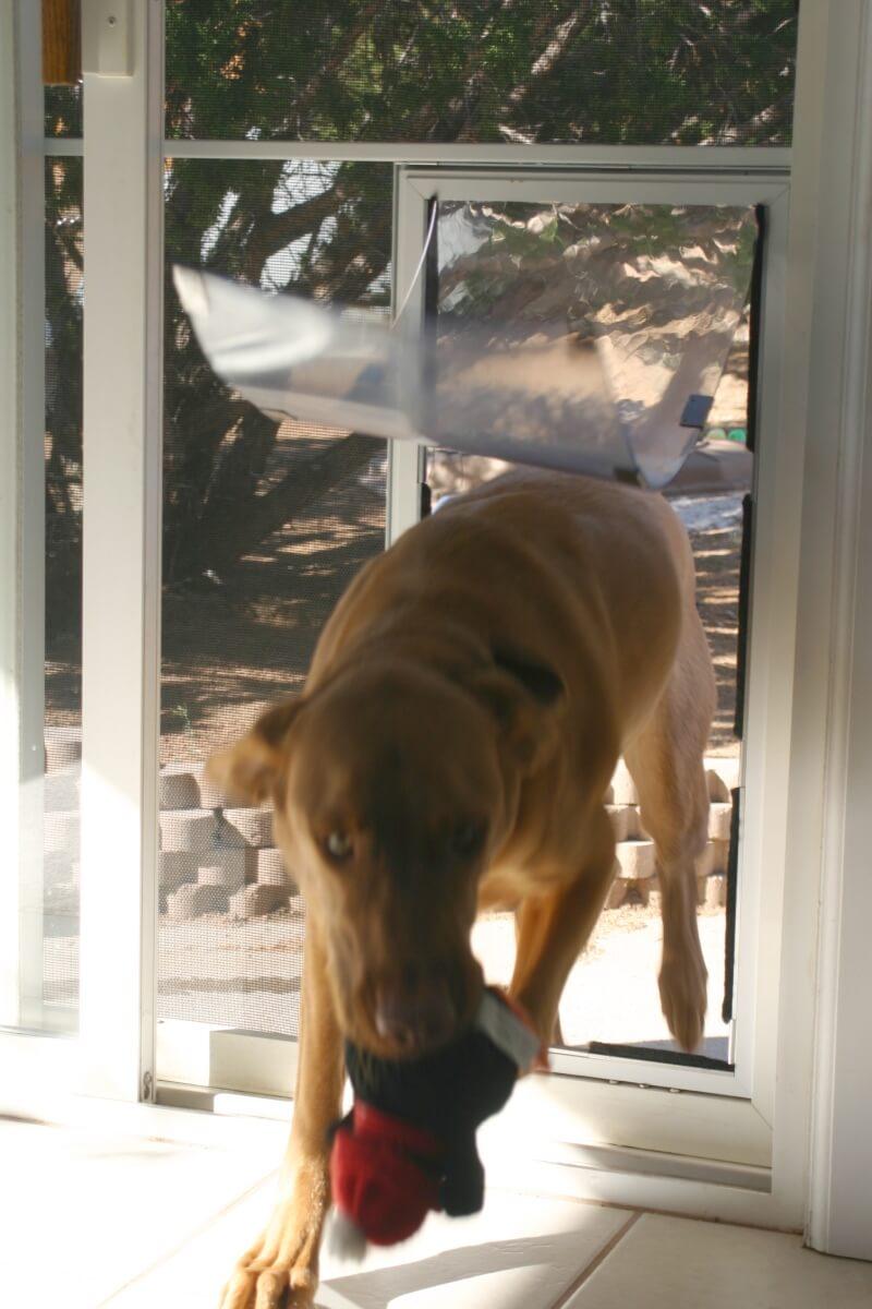 dog with toy entering doggie door