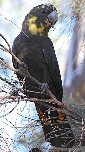 A Glossy Black Cockatoo in a She Oak Tree