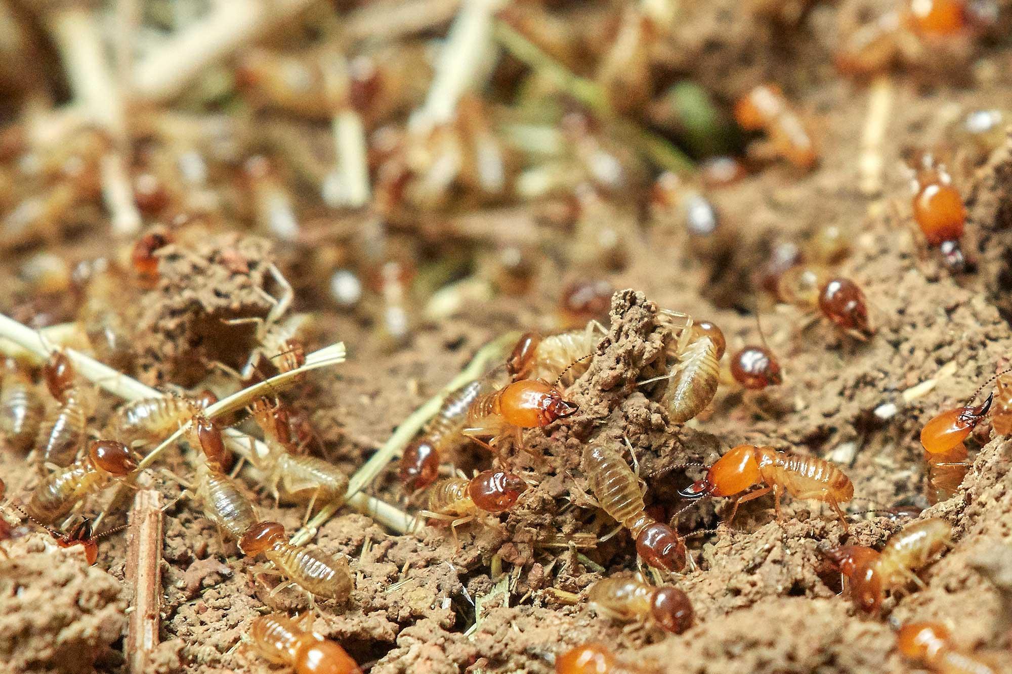 termite elimination services