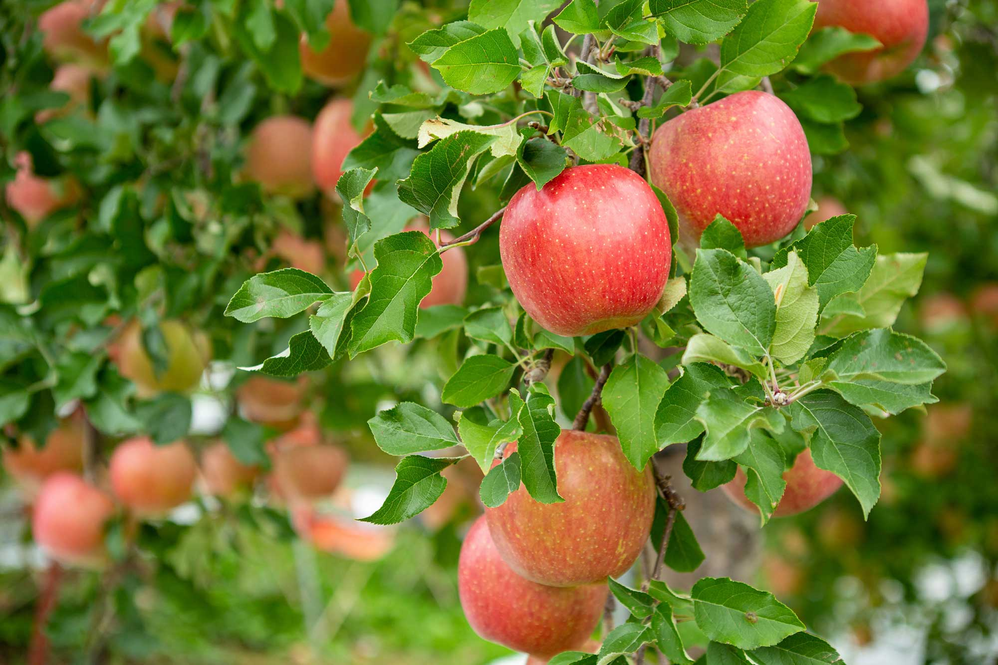 Fruit tree care for apples