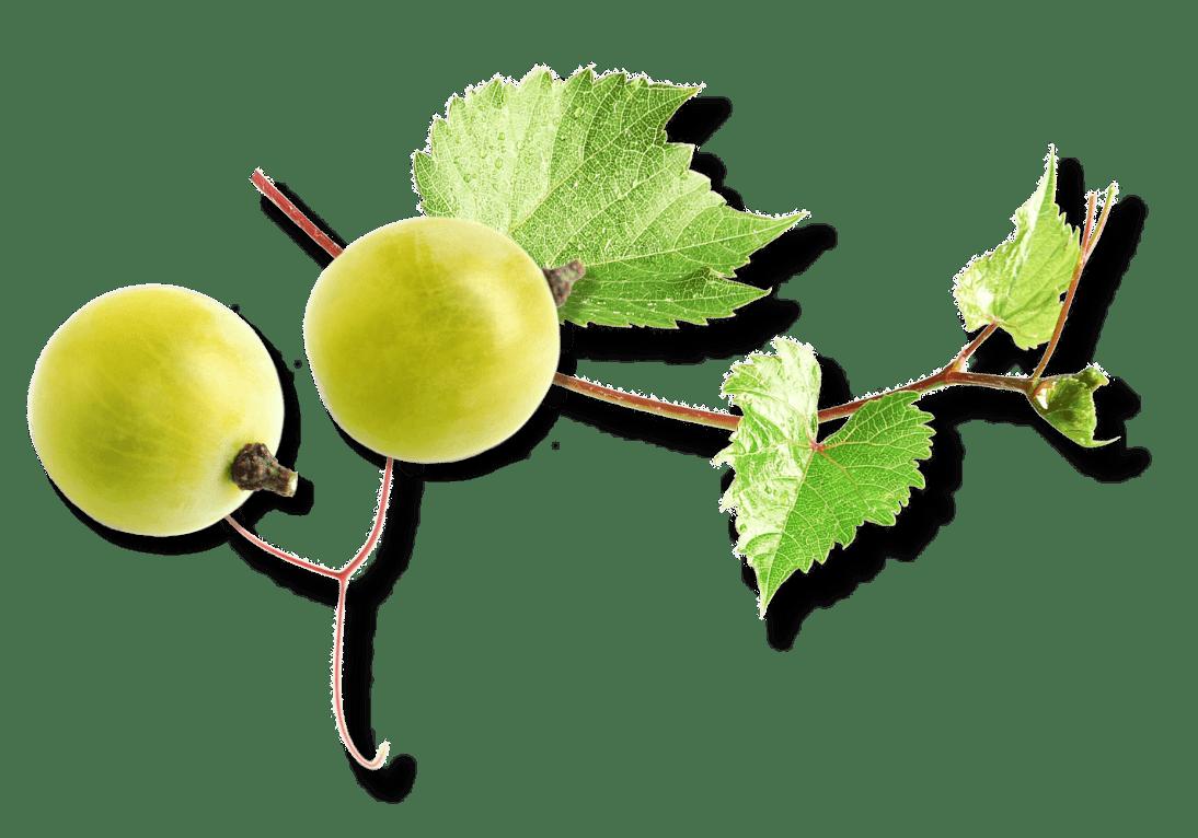 White grapes and vine