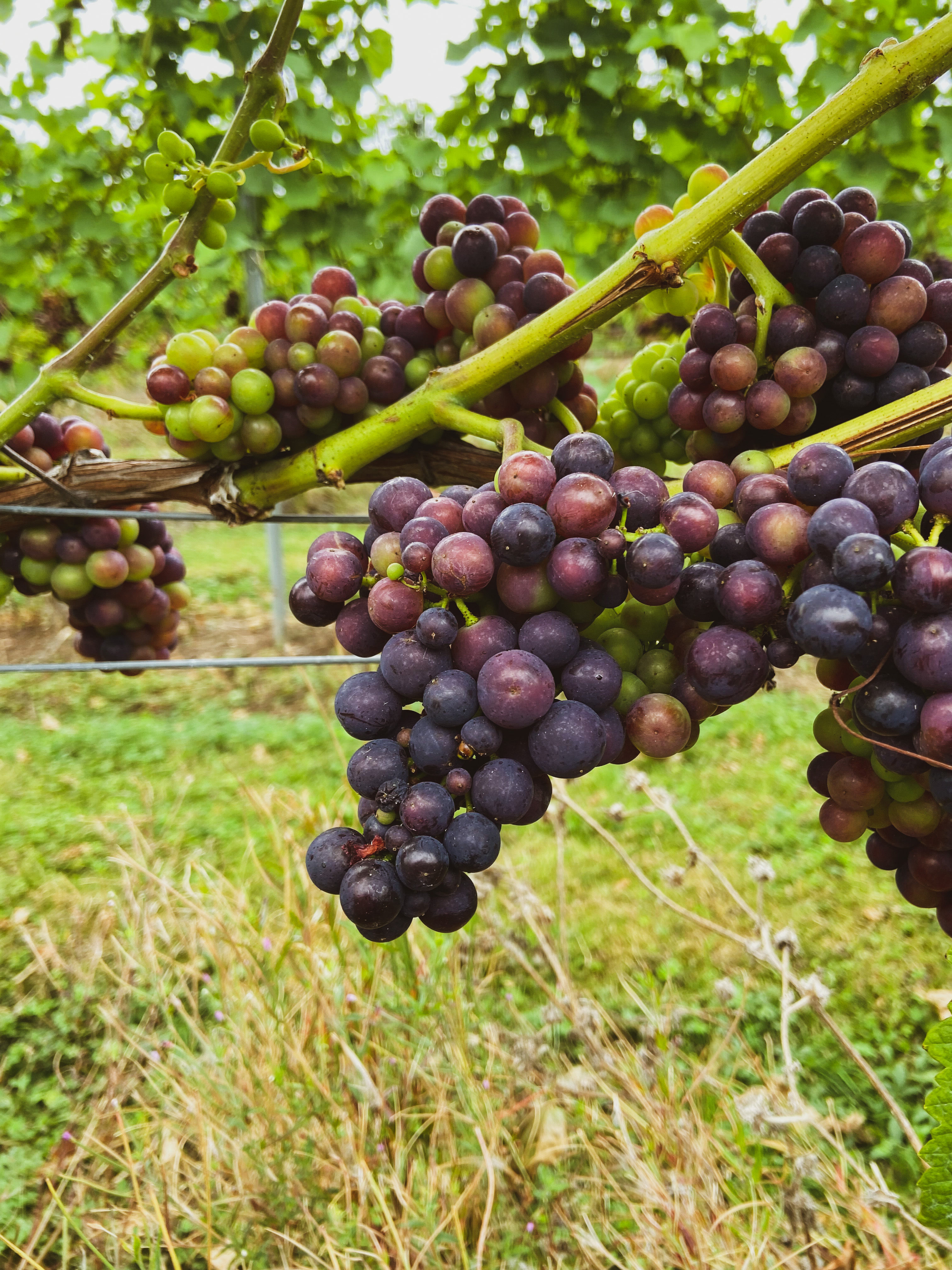 Red grapes from the Martins Lane Vineyard available at the Essex Produce Co. in Kelvedon, Essex.