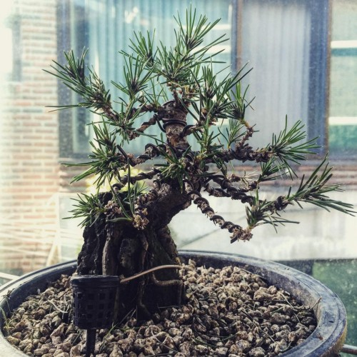 A Japanese black pine bonsai tree with wired branches clinging to a rock.