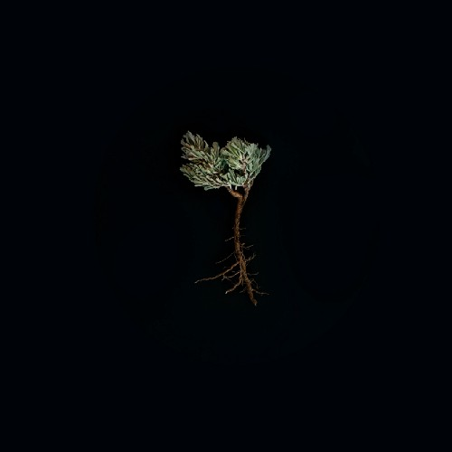 An evergreen sapling with exposed roots against a black backdrop.