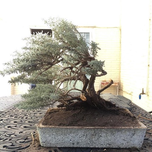 Even rosemary can be bonsai if you have vision. Dramatic looking rosemary bush in a bonsai pot.