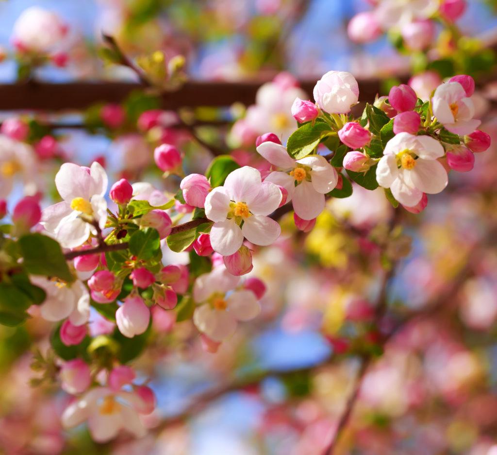 Цъфнали ябълкови цветове на първа пролет