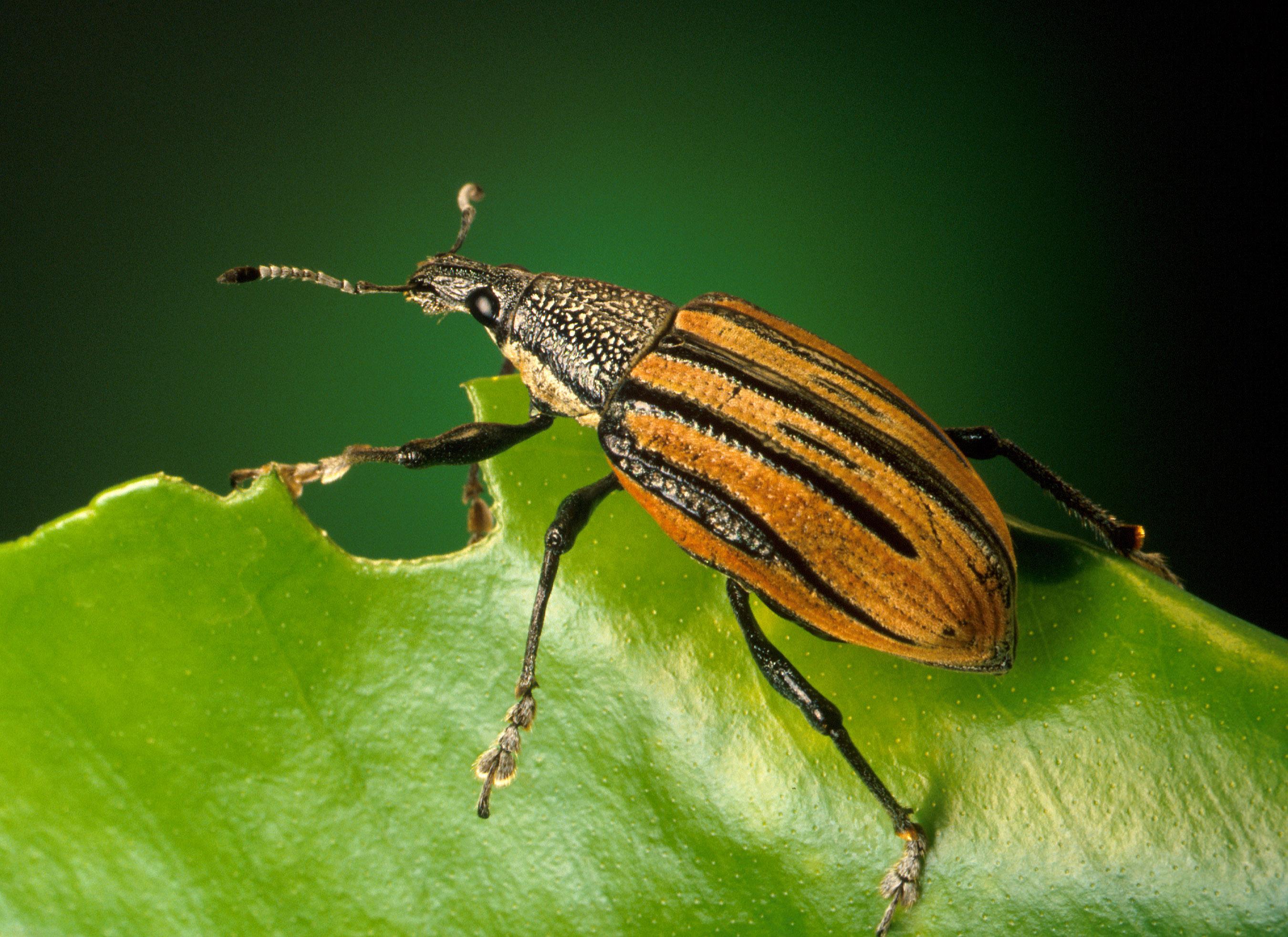 Nueva plaga en Canarias. Diaprepes Abbreviatus