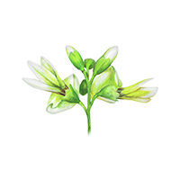 Japanese Sophora Flower Buds (Quercetin)