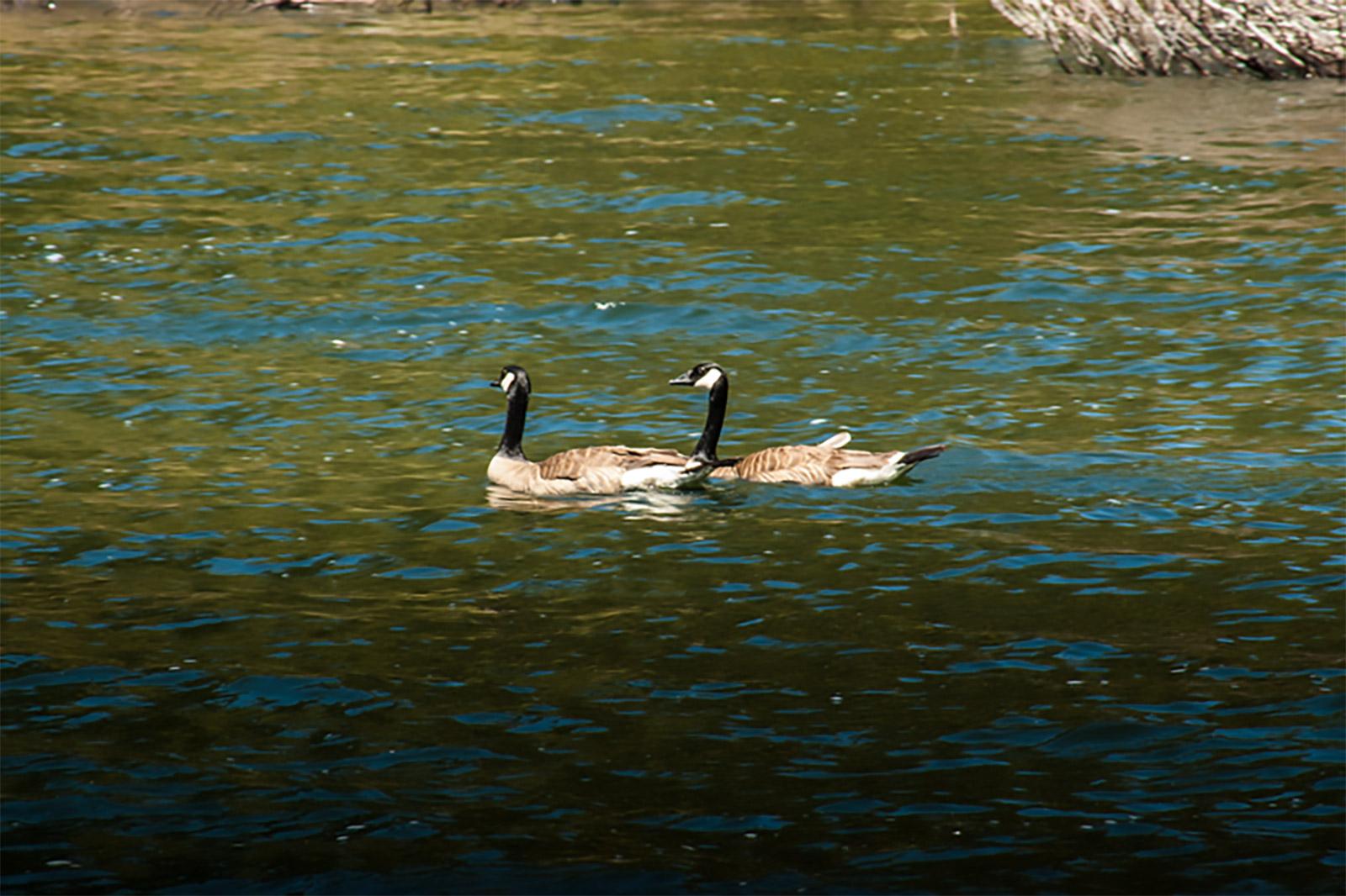 Canadian Honkers at Buck's Lake