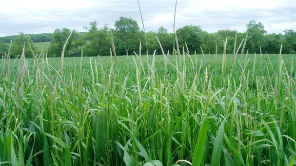 Blackgrass burden for European cereal farmers