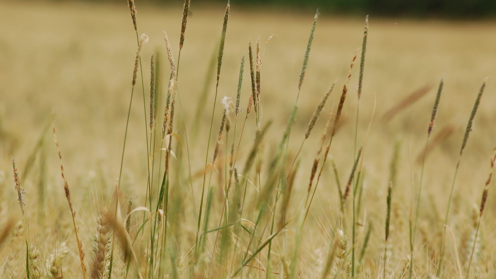 Herbicide resistant blackgrass threatens cereal production