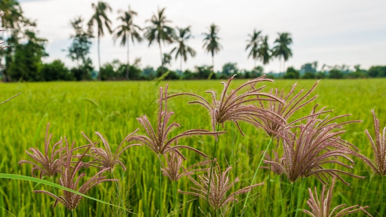 MoA Tech investment means better prospects for controlling weeds in rice