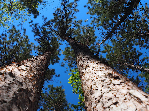 Evergreen Appreciation Season: Top 5 Minnesota Conifers
