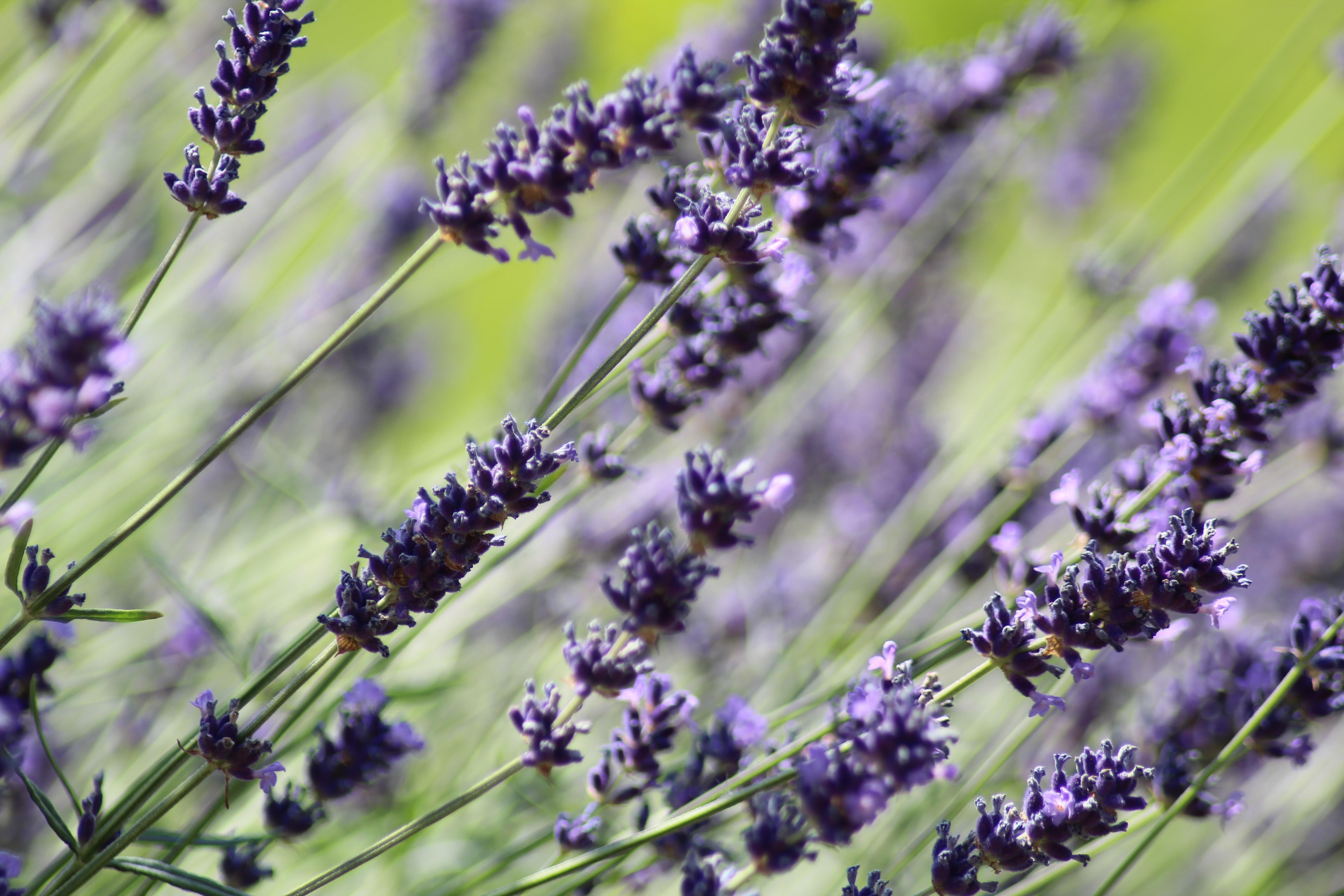 Personal Plants Recipes: 3-Ingredient Lavender Lemonade!