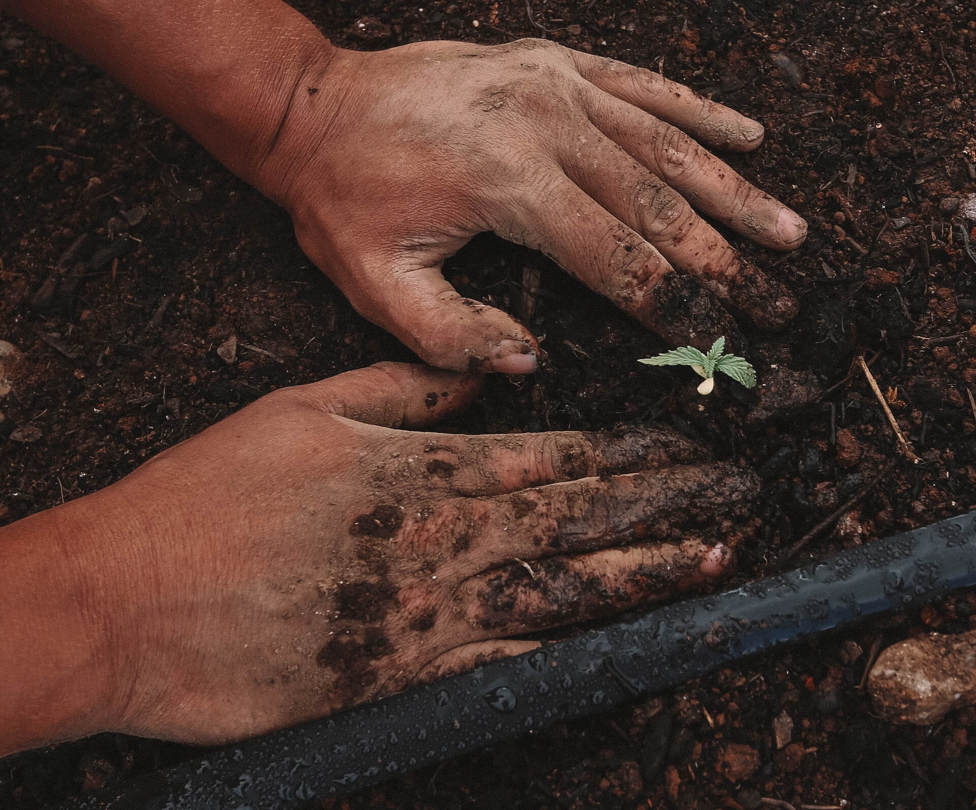 Growing your own: Germinating cannabis seeds
