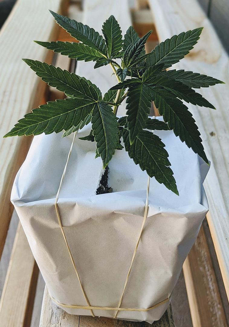 Grow Hemp at Home - My Personal Plants
