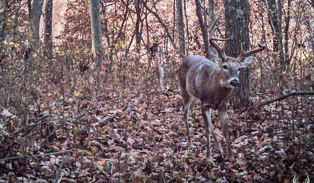 Big Buck Walking