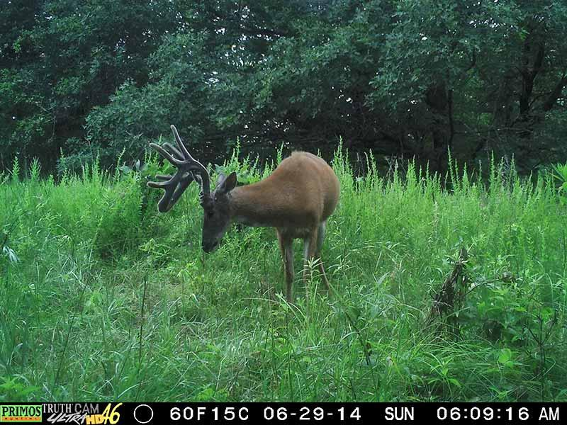 View of a nice buck from Primos Truth Cam Ultra HD 46 trail camera