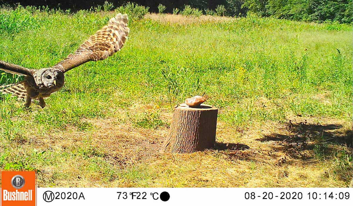 owl caught flying by a fast shutter speed